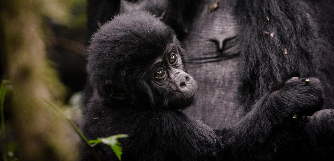 Uganda Gorilla Safari Verkaufsbox UGA