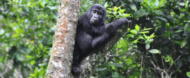 Grosse Uganda Safari